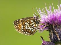 Woudparelmoervlinder falska Heath Fritillary, Melitaea diamina arkivbilder