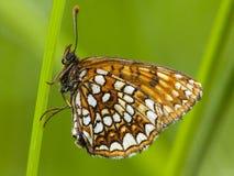 Woudparelmoervlinder falska Heath Fritillary, Melitaea diamina arkivbild