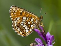 Woudparelmoervlinder falska Heath Fritillary, Melitaea diamina royaltyfri foto