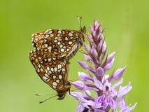 Woudparelmoervlinder falska Heath Fritillary, Melitaea diamina royaltyfri fotografi