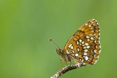 Woudparelmoervlinder falska Heath Fritillary, Melitaea diamina royaltyfria foton