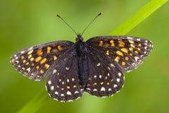 Woudparelmoervlinder falska Heath Fritillary, Melitaea diamina arkivfoto
