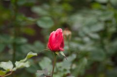 Red Rosebud reaching for the sky stock photography