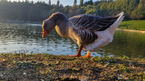 It would seem that the ducks do not have a good character. Ducks can bee seen on the shore of a small lake Stock Photography