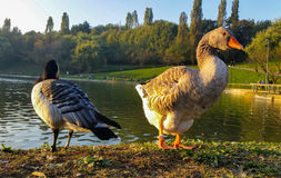 It would seem that the ducks do not have a good character. Ducks can bee seen on the shore of a small lake Stock Photos