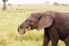 Free Wounded African Elephants Loxodonta Africana Eating Royalty Free Stock Photo - 110105525
