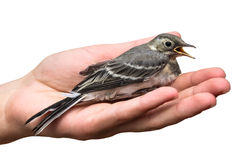 Wounded bird tree pipit in the hands, isolated on white background. Anthus trivialis. swallow Stock Photography