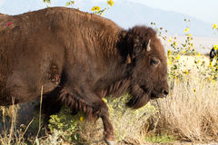 Wounded Bison on Antelope Island Stock Photos