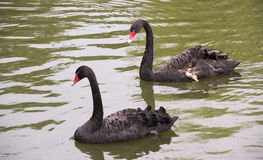 Wounded black swan  with a friend Stock Photography