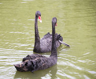 Wounded black swan  with a friend Royalty Free Stock Photography