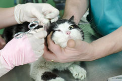 Wounded cat Stock Photo