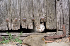 Wounded cat through old wooden door hole Royalty Free Stock Images