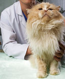 Wounded cat treated. By veterinarian stock photography
