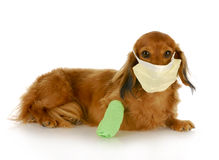 Wounded dog Royalty Free Stock Photography