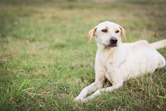 Wounded dog sitting on grass. Wounded dog sitting on green grass Royalty Free Stock Image
