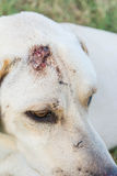 Wounded dog sitting Stock Photography
