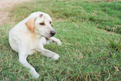 Wounded dog sitting. On green grass Royalty Free Stock Photo