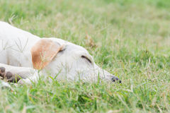 Wounded dog sleeping on green grass. In bad weather Royalty Free Stock Photography