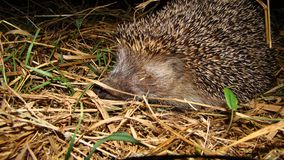 Wounded Hedgehog at night royalty free stock photography