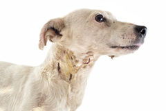 Wounded jack russel terrier Stock Images