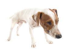 Wounded jack russel terrier Royalty Free Stock Photography