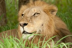 Wounded lion in the grass Stock Images