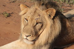 Wounded Lion. A young lion with a wound on his face and with old wounds and scars in his body, resting on the ground in a game reserve, in South Africa royalty free stock photo