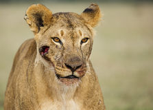 Wounded Lioness Stock Photo