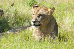 Wounded lioness Royalty Free Stock Photo