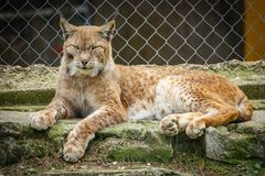Wounded lynx in a cage. Long shot of wounded lynx in a cage Royalty Free Stock Photo