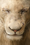 Wounded male lion - close up Royalty Free Stock Photo
