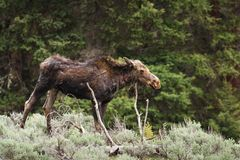 Wounded Moose Royalty Free Stock Photo