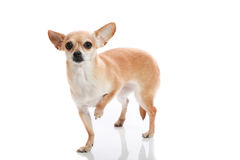Wounded paw. Chihuahua holding one paw up on white background Royalty Free Stock Images