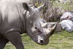 Wounded Rhino Royalty Free Stock Image