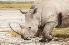 Wounded Rhino Royalty Free Stock Images