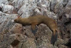 Wounded  Sea Lion on a rock Royalty Free Stock Photo