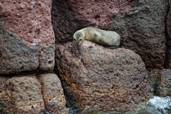 Wounded Seal sea lion in baja california Royalty Free Stock Photos