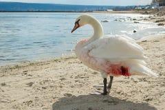 Wounded swan on the beach. Wounded swan on the beach in Bulgaria, Varna Stock Photo