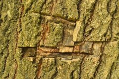 Wounded tree, crust texture. The tree bark is damaged by an ax, the texture Stock Photos