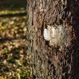 Wounded tree in local park. With autumn colored foliage in background Royalty Free Stock Photo