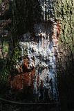 Wounded tree with white paint Royalty Free Stock Photo