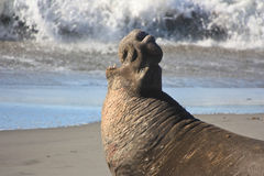 Wounded warrior. Elephant seal screaming after a battle with another male seal Stock Photography