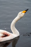 Wounded whooper swan. A whooper swan & x28;Cygnus cygnus& x29; that has lost a wing is wintering on a river in Northern Finland Stock Photography