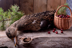 Wounded wild duck hunter Stock Images