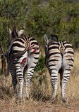 Wounded zebra standing together stock image