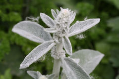 Woundwort Stockfoto