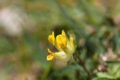 Woundwort alpin et x28 ; Sous-espèce de vulneraria d'Anthyllis alpicola& x29 ; Photographie stock libre de droits