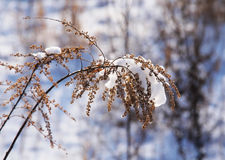 Woundwort in winter Stock Images