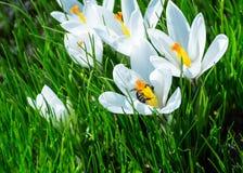Wove the Flower white Crocus Stock Photos