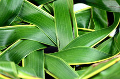 Woven coconut leaves. Royalty Free Stock Image